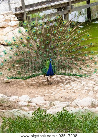 Peacock With Colorful Tail