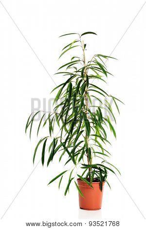 Dracaena flower in a pot.