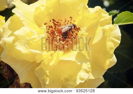 Diligent Honeybee Pollinates The Yellow Rose