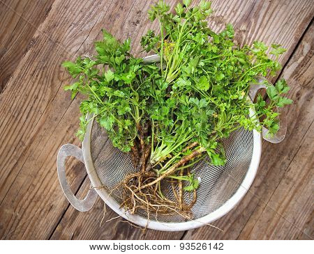 Organic Fresh Parsley With Roots In Strainer
