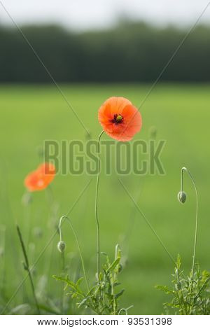 Red poppies in natural habitat