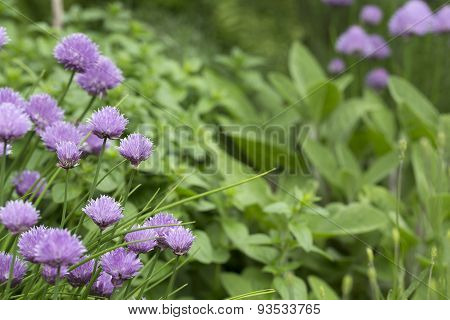 Flowers of chive