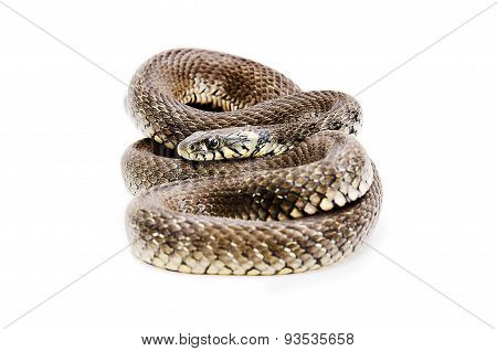 Snake lying isolated on white background