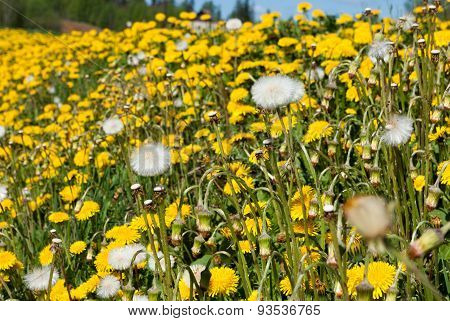 Field with yellow dandelions.
