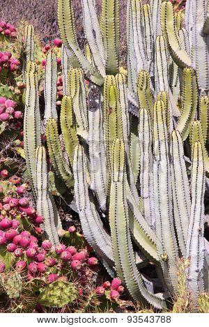 Tenerife Flora