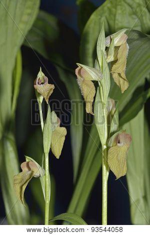 Serapias Hybrid Orchid