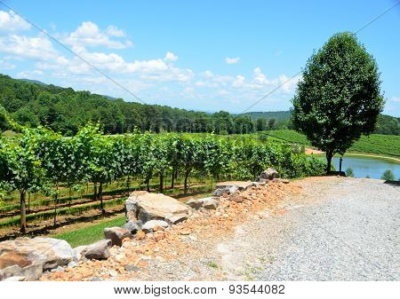 Vineyard of North Georgia, USA