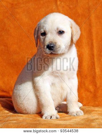 Yellow Labrador Puppy On Orange Background