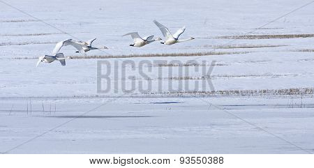 A group, flock of whooper swan above a snowy meadow.
