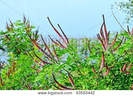 Violet Acacia Tree With Leaves Against Blue Sky