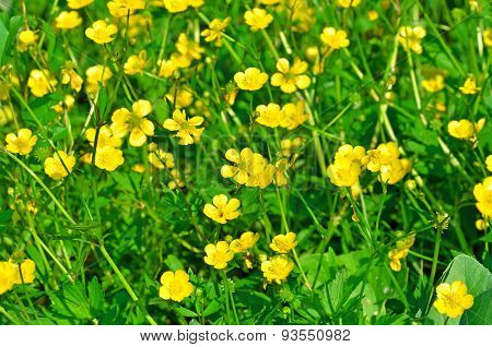 Field Of Wild Marsh Marigold