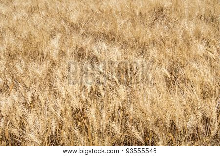 Harvest Of Ripe Wheat