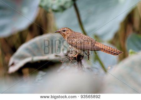 Plaintive Cuckoo Cacomantis Merulinus
