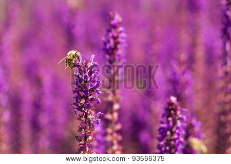 Bee On A Woodland Sage