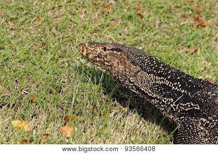 Water Monitor Lizard Varanus Salvator