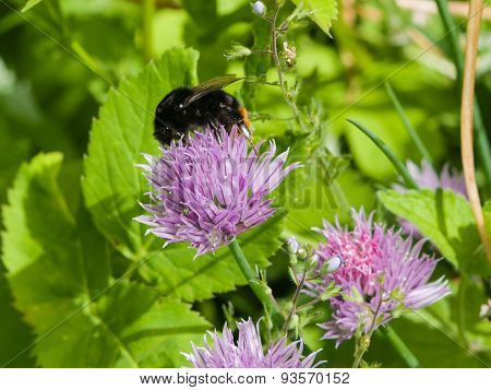 Blooming Chives With A Bumblebee Macro, Selective Focus, Shallow Dof