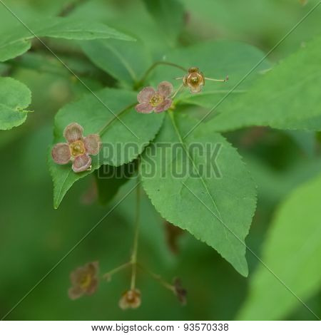 Small Flowers On Euonymus Verrucosus Or Spindle Tree Macro, Selective Focus, Shallow Dof