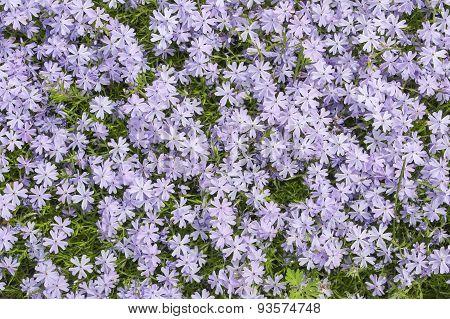 A Carpet Of Buttercups