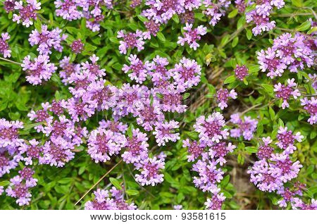 Fresh green thyme herbs with pink flowers