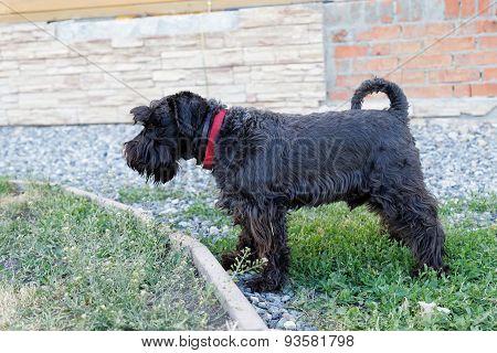 Black Dog Zwergschnauzer With A Red Collar