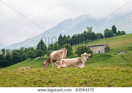 Cows Grazing In The Mountain