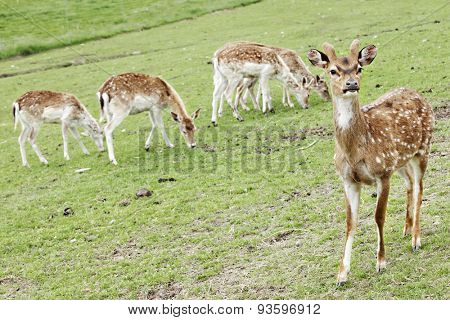 Closeup of a handsome, young spotted deer with several other deer grazing in the background.