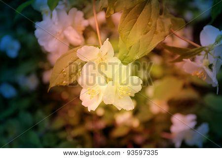 Beautiful white jasmine