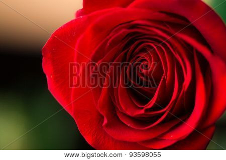 Close-up view of beatiful dark red rose
