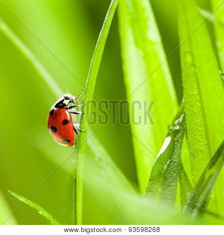 Ladybug on Grass Over Green Bachground