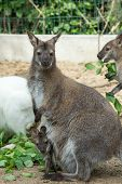 foto of wallabies  - grazzing Red necked Wallaby kangaroo with baby in bag - JPG