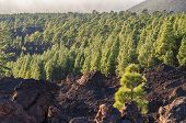 stock photo of volcanic  - Coniferous forest on volcanic land Teide National park Tenerife island - JPG