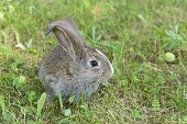 stock photo of eat grass  - Cute rabbit in green grass. Bunny eating green grass ** Note: Visible grain at 100%, best at smaller sizes - JPG