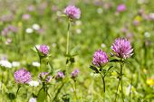 image of red clover  - Red flower clovers on green background leaf - JPG