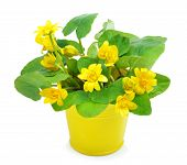 picture of marshes  - Yellow wild marsh marigold isolated on white - JPG