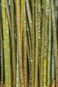 pic of bamboo forest  - Close up big fresh bamboo grove in green color at Thailand forest - JPG