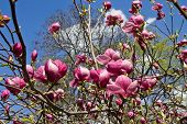 picture of magnolia  - magnolia branch with pink flowers against the skyp - JPG