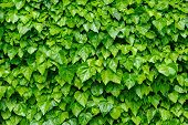 foto of ivy  - Spring green lush ivy leaves at wall background - JPG