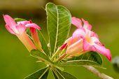 pic of desert-rose  - Desert Roses are Thai Flower - JPG