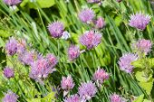 picture of chive  - purple chives blooming in the herb bed macro selective focus shallow dof - JPG