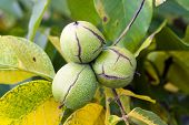 stock photo of walnut-tree  - photographed by a close up a walnut tree in an autumn season - JPG