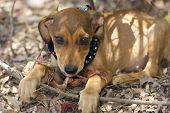 image of puppy eyes  - A cute brown puppy is looking up with beautiful soft eyes - JPG