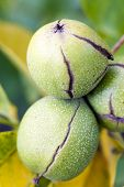 pic of walnut-tree  - photographed by a close up a walnut tree in an autumn season - JPG