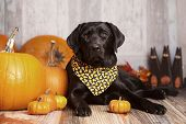 stock photo of gourds  - Beautiful Black Labrador Retriever next to pumpkins - JPG