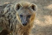 stock photo of hyenas  - Closeup of the head of a Spotted Hyena  - JPG