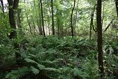 picture of fern  - large ferns in the woods surrounded by trees - JPG