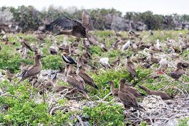stock photo of boobies  - Juvenile red footed boobies in a large nesting site in Genovesa Island in the Galapagos Islands in Ecuador - JPG
