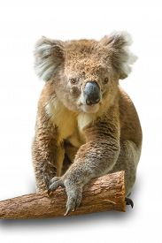 stock photo of herbivore animal  - Koala adult male sitting on the branch of a tree - JPG