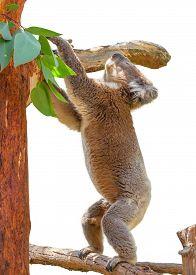 pic of eucalyptus trees  - Koala adult male climbs on Eucalyptus tree - JPG