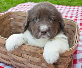 picture of newfoundland puppy  - Five week old Newfoundland puppy sitting in a picnic basket outdoors - JPG
