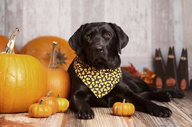 picture of seeing eye dog  - Beautiful Black Labrador Retriever next to pumpkins - JPG